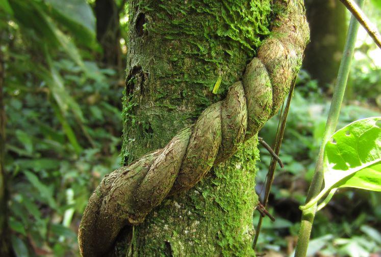 liana de ayahuasca